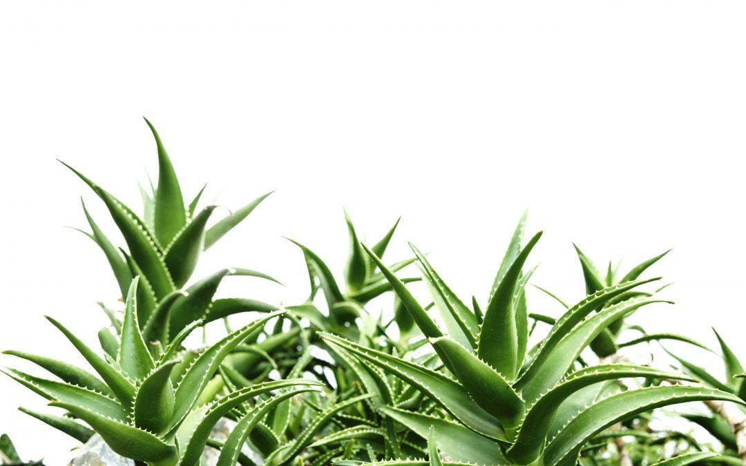 L'Aloe arborescens, plante adaptogène?